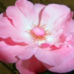 roos opent zich sept 14