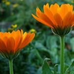 calendula mountain rose