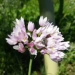 allium roseum mei 14