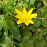 speenkruid bloem close up